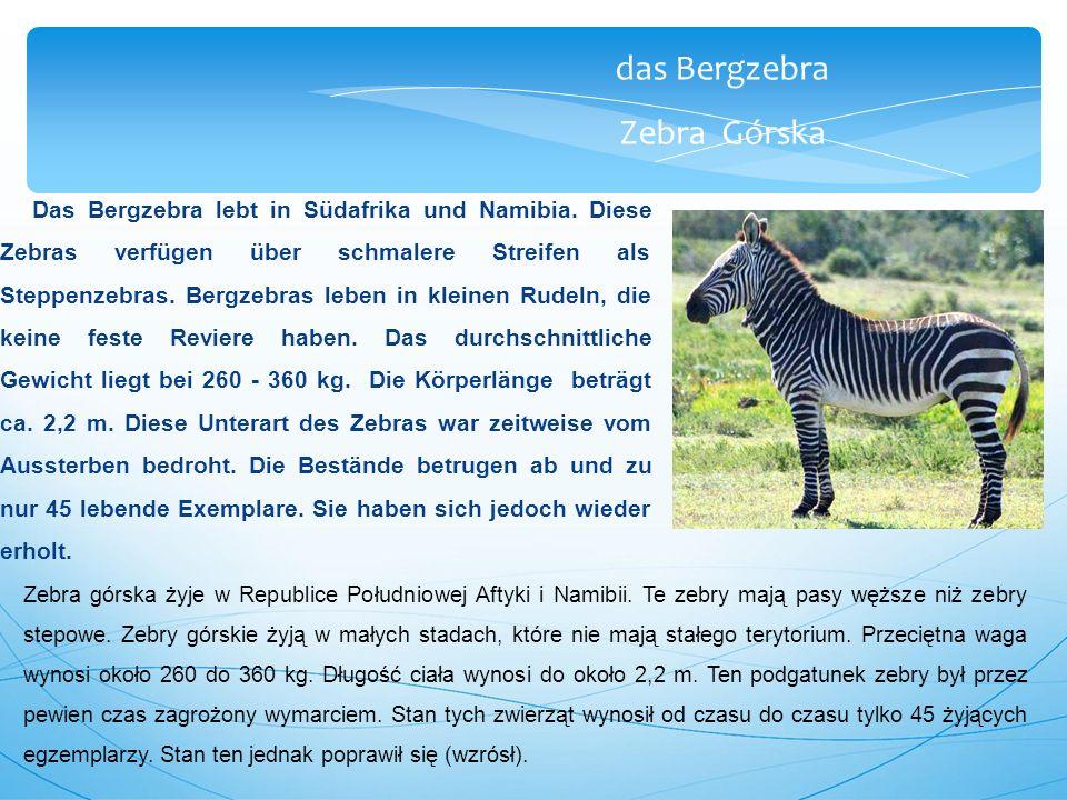 das Bergzebra Zebra Górska Das Bergzebra lebt in Südafrika und Namibia.