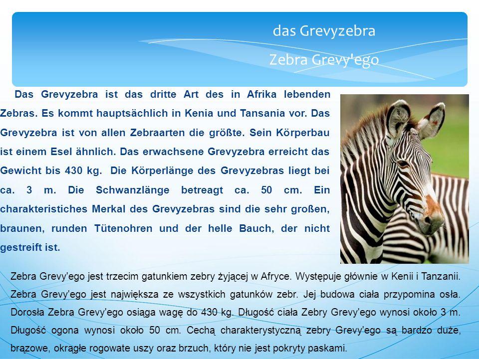 das Grevyzebra Zebra Grevy ego Das Grevyzebra ist das dritte Art des in Afrika lebenden Zebras.