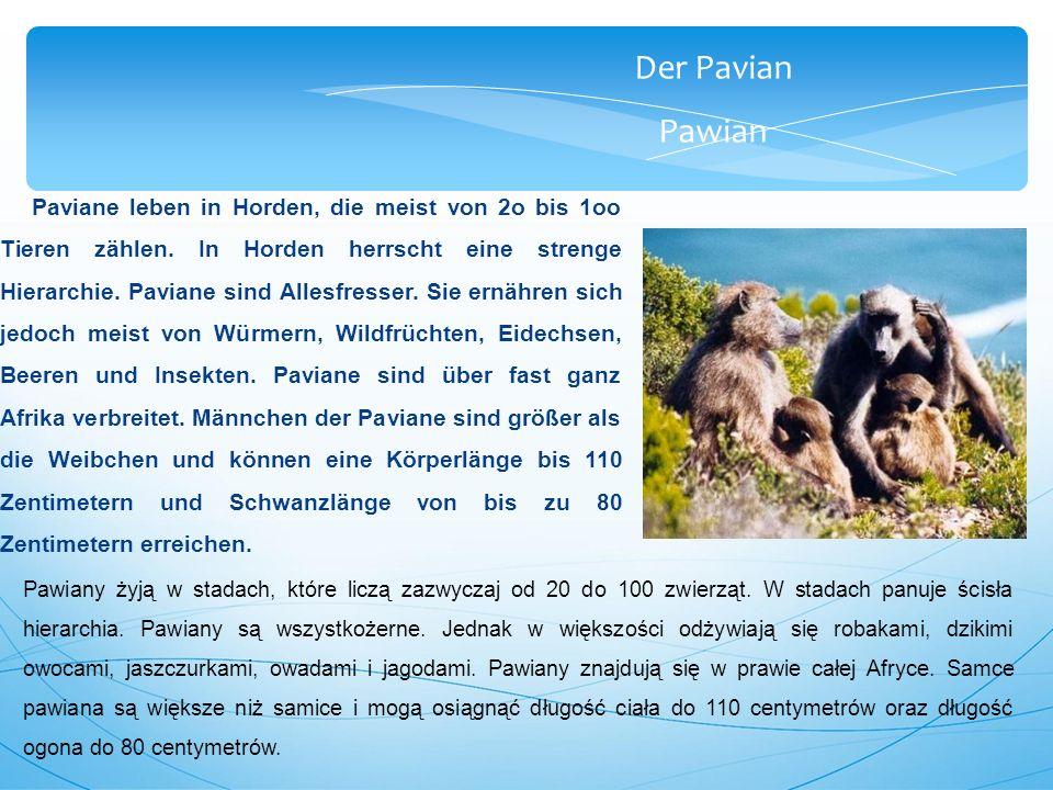 Der Pavian Pawian Paviane leben in Horden, die meist von 2o bis 1oo Tieren zählen.
