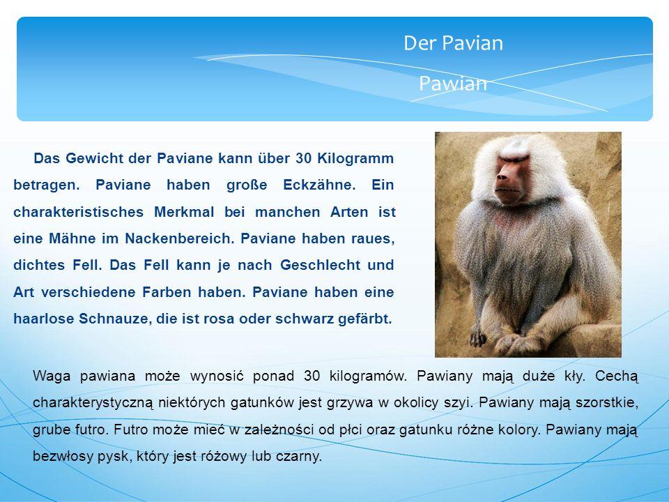 Der Pavian Pawian Das Gewicht der Paviane kann über 30 Kilogramm betragen.