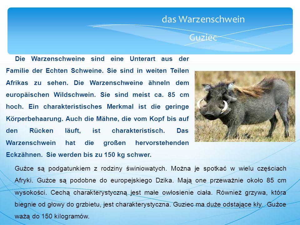 das Warzenschwein Guziec Die Warzenschweine sind eine Unterart aus der Familie der Echten Schweine.