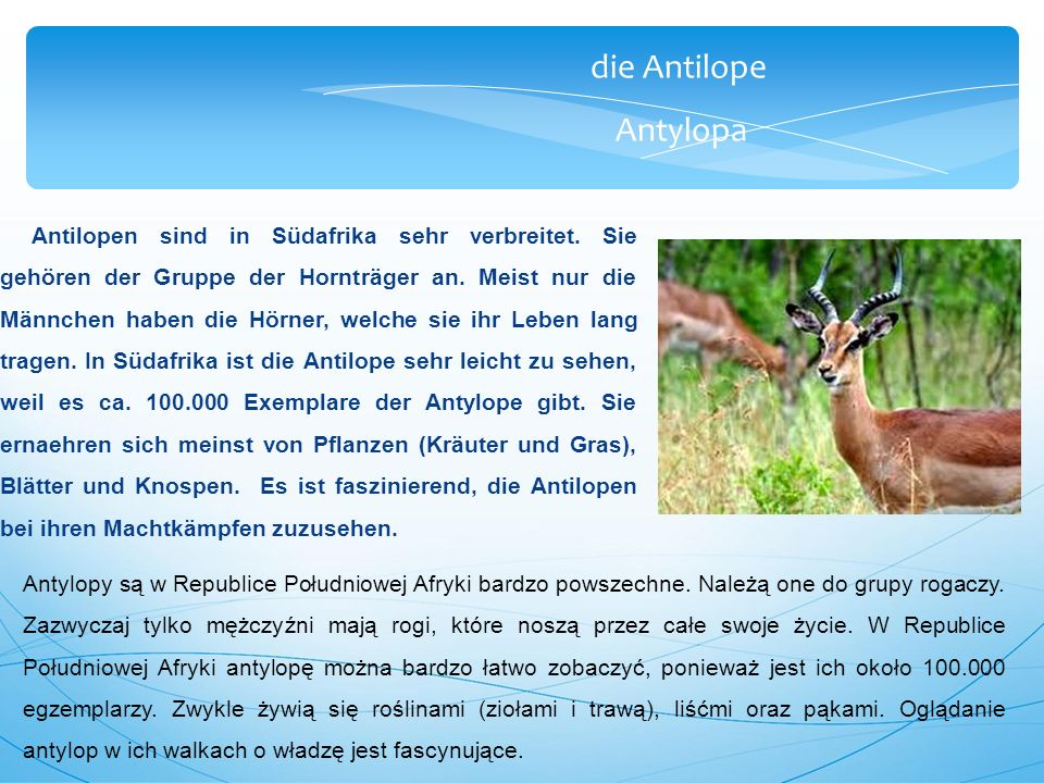die Antilope Antylopa Eine weitere und sehr interessante Art ist die Kudus.