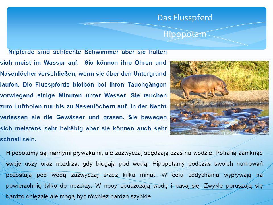 Das Flusspferd Hipopotam Nilpferde sind schlechte Schwimmer aber sie halten sich meist im Wasser auf.