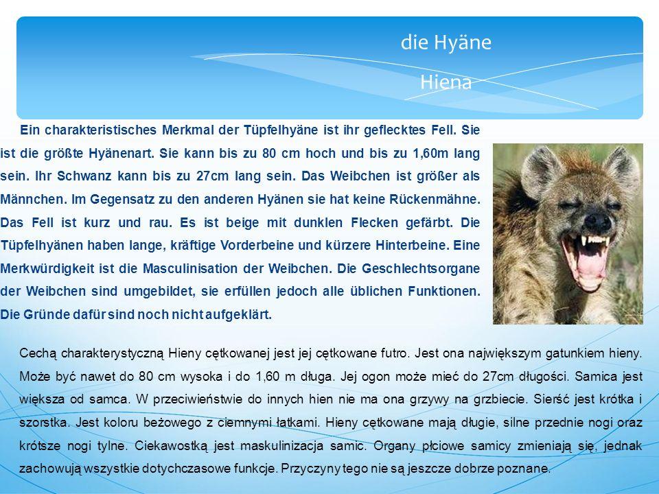 die Hyäne Hiena Ein charakteristisches Merkmal der Tüpfelhyäne ist ihr geflecktes Fell.