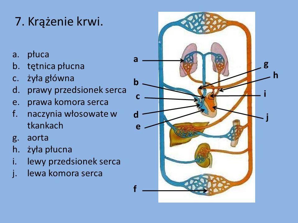7. Krążenie krwi. f g h i j a b c d e a.płuca b.tętnica płucna c.żyła główna d.prawy przedsionek serca e.prawa komora serca f.naczynia włosowate w tka