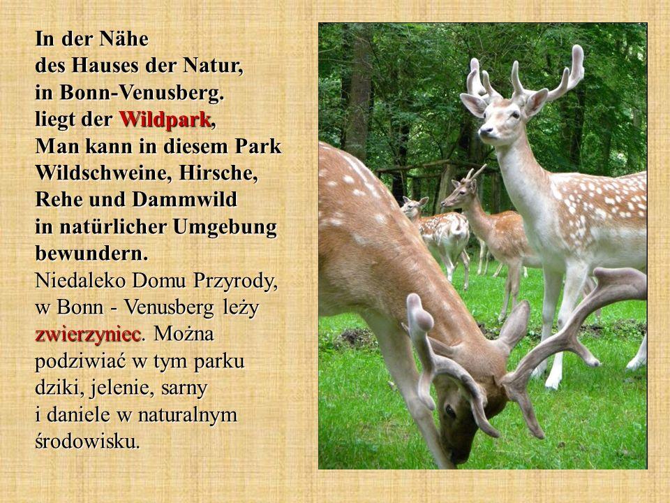 In der Nähe des Hauses der Natur, in Bonn-Venusberg. liegt der Wildpark, Man kann in diesem Park Wildschweine, Hirsche, Rehe und Dammwild in natürlich