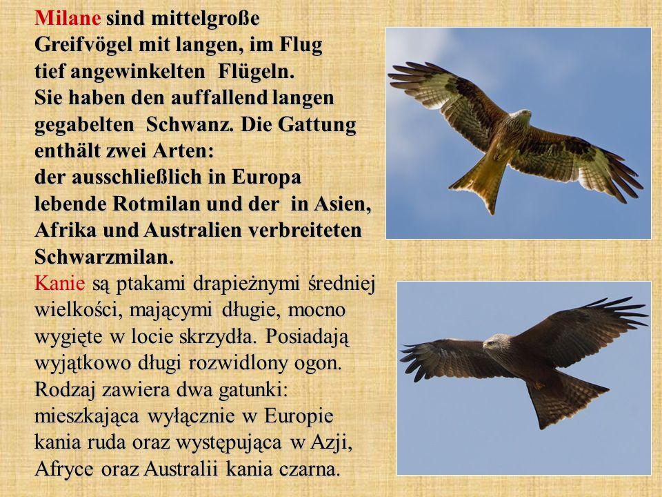 Harpyie hat die Flügelspannweite bis 240 cm.Nur in der Brutzeit leben Harpyien paarweise zusammen.