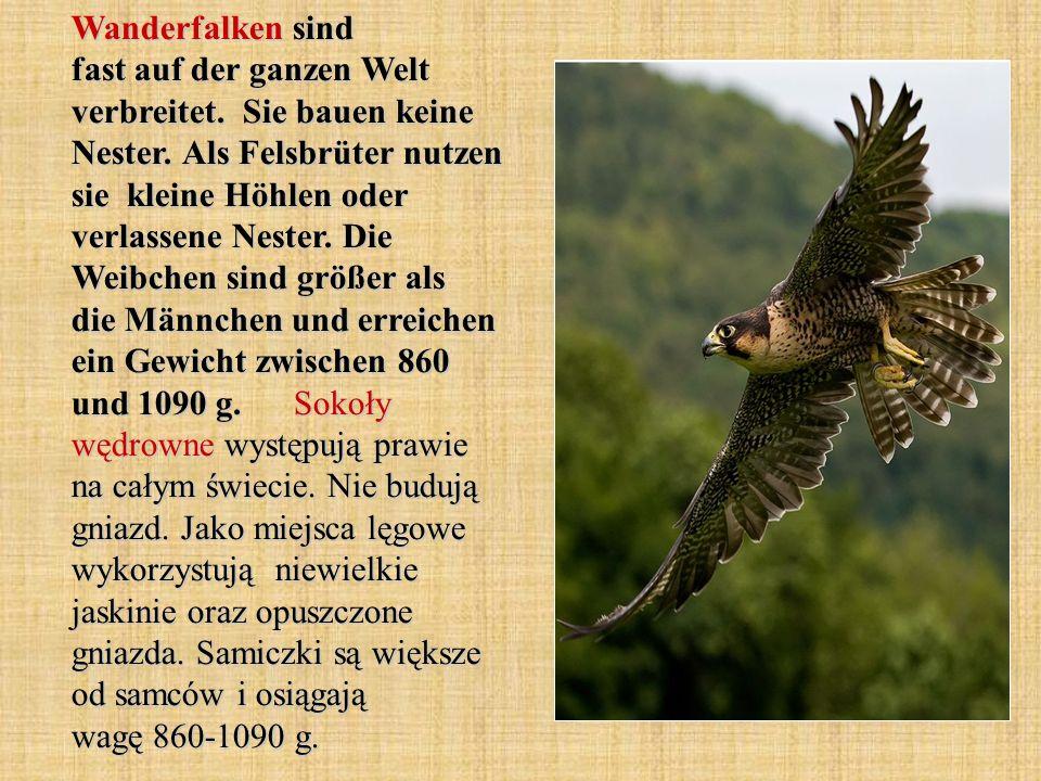 Der Bartgeier mit einer Flügelspannweite bis zu 2,9 Metern zählt er zu den größten flugfähigen Vögeln der Welt.