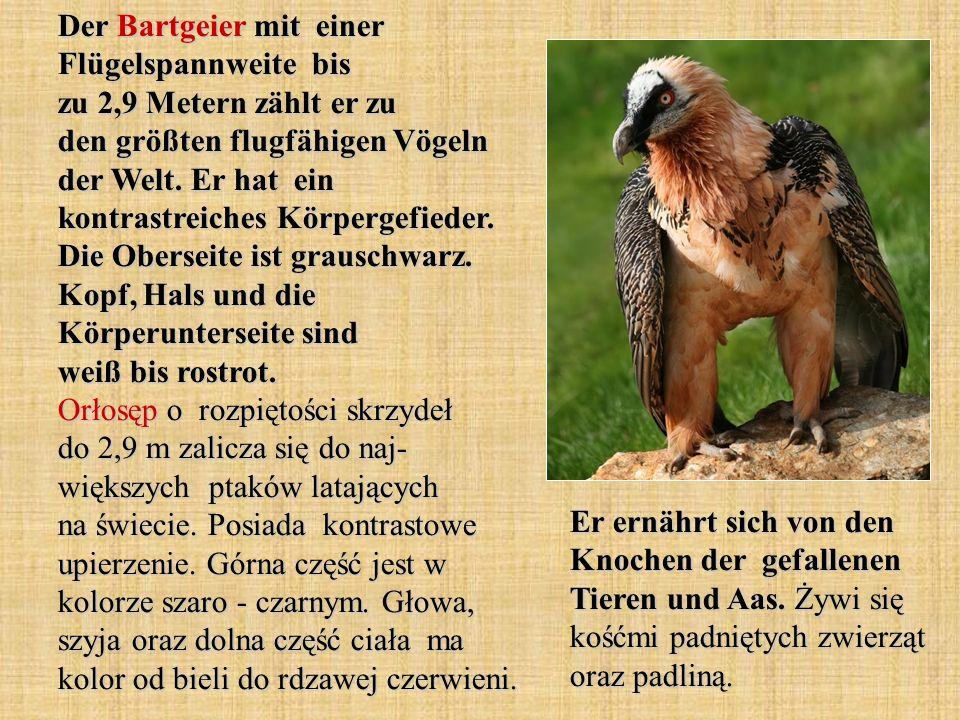 Der Baumfalke ist ein tagaktiver Greifvogel.Er gilt als ein ausgesprochen guter Flieger.