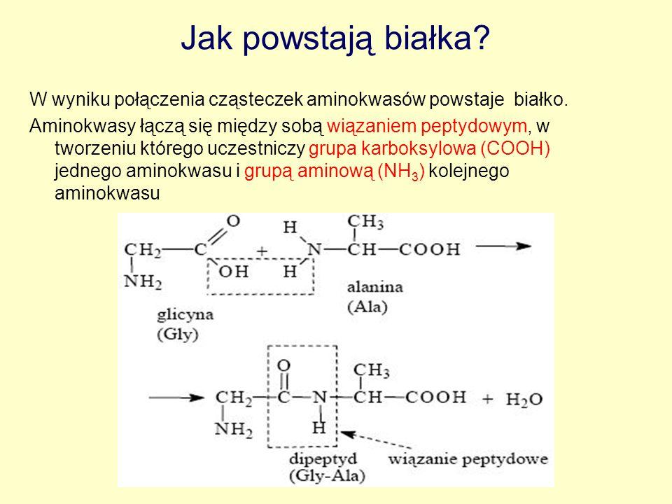 Jak powstają białka? W wyniku połączenia cząsteczek aminokwasów powstaje białko. Aminokwasy łączą się między sobą wiązaniem peptydowym, w tworzeniu kt