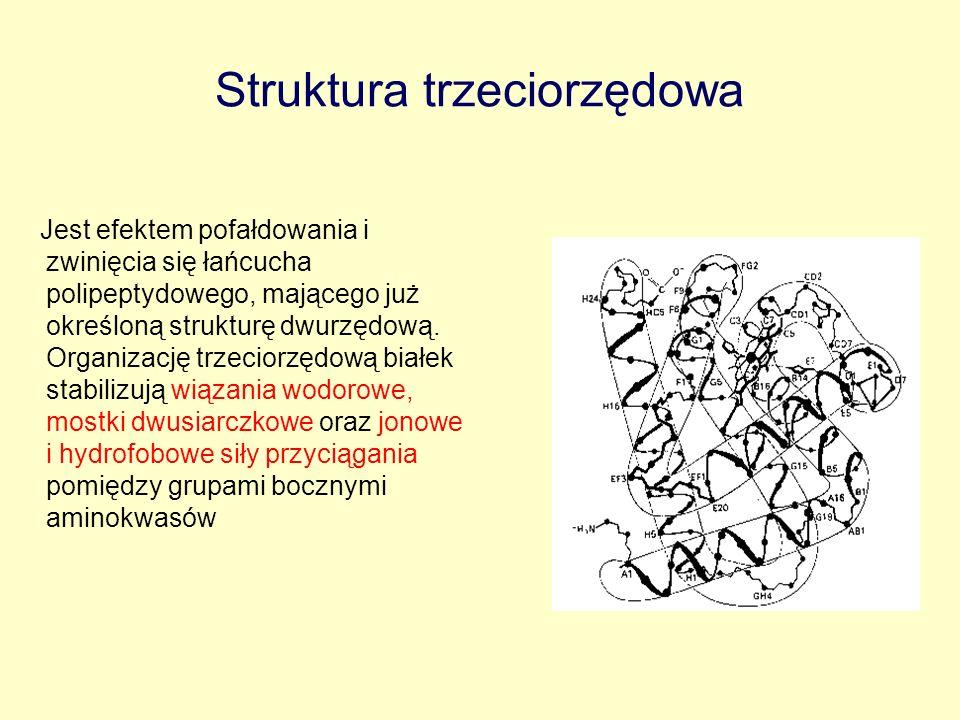 Struktura trzeciorzędowa Jest efektem pofałdowania i zwinięcia się łańcucha polipeptydowego, mającego już określoną strukturę dwurzędową. Organizację