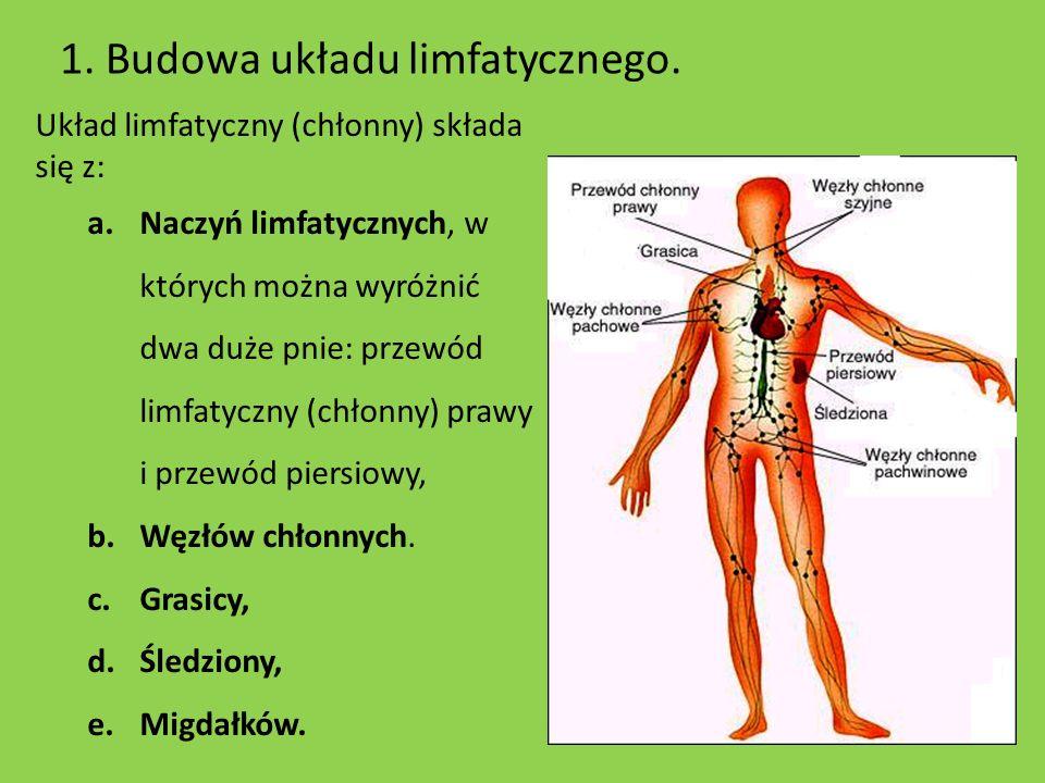 1. Budowa układu limfatycznego. Układ limfatyczny (chłonny) składa się z: a.Naczyń limfatycznych, w których można wyróżnić dwa duże pnie: przewód limf