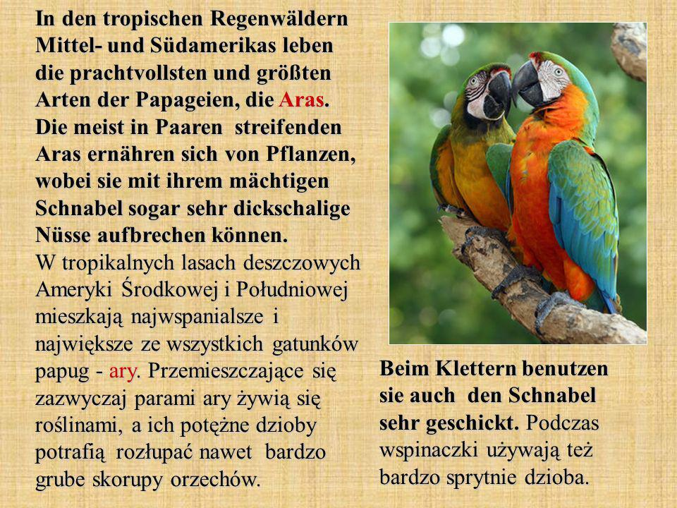 In den tropischen Regenwäldern Mittel- und Südamerikas leben die prachtvollsten und größten Arten der Papageien, die Aras.