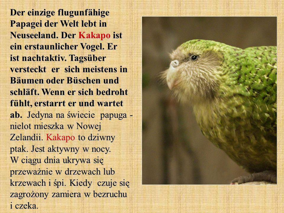 Der einzige flugunfähige Papagei der Welt lebt in Neuseeland.