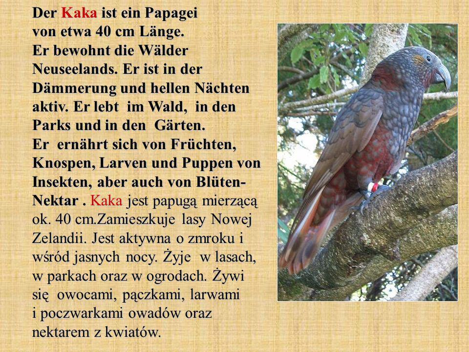 Der Kaka ist ein Papagei von etwa 40 cm Länge.Er bewohnt die Wälder Neuseelands.