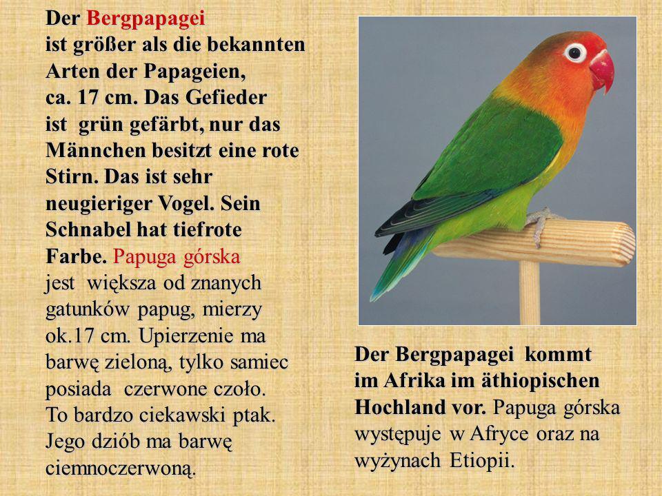 Der Bergpapagei ist größer als die bekannten Arten der Papageien, ca.