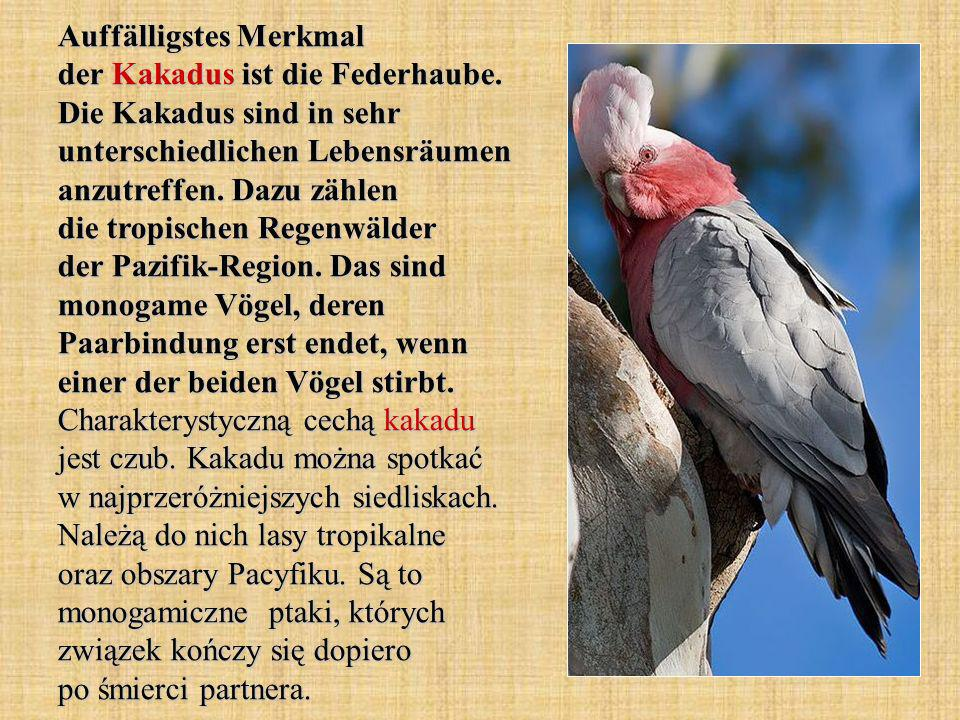 Auffälligstes Merkmal der Kakadus ist die Federhaube.