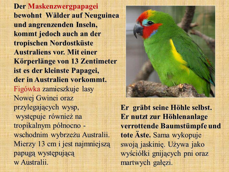 Der Maskenzwergpapagei bewohnt Wälder auf Neuguinea und angrenzenden Inseln, kommt jedoch auch an der tropischen Nordostküste Australiens vor.