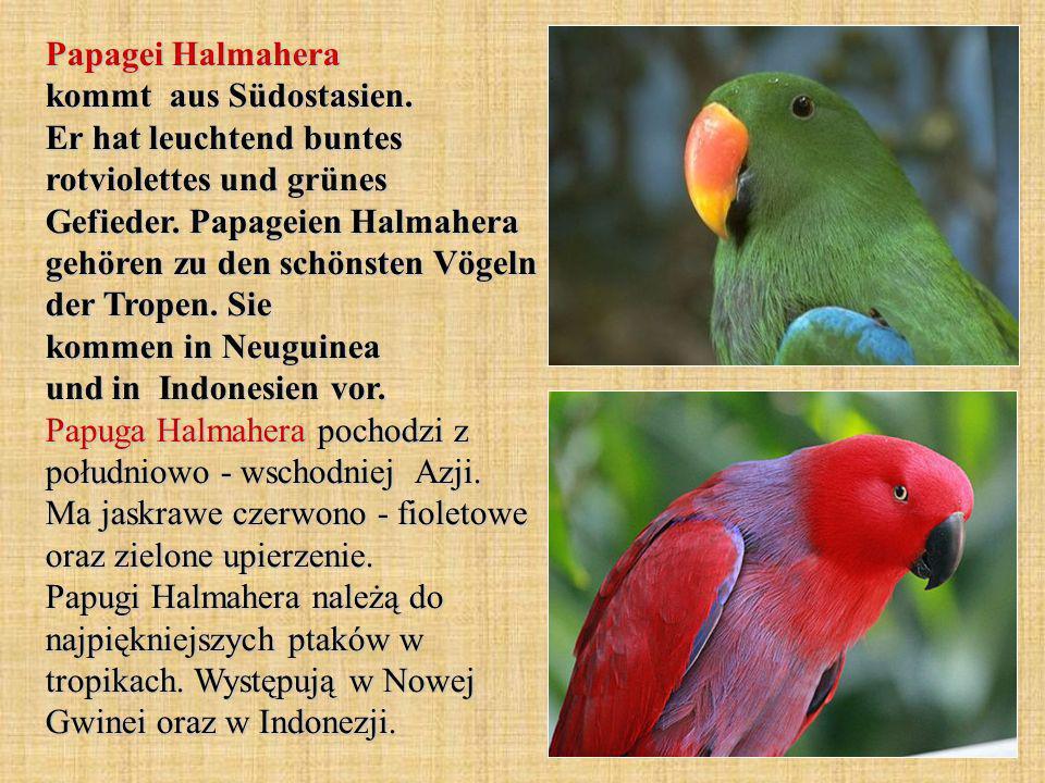 Papagei Halmahera kommt aus Südostasien.Er hat leuchtend buntes rotviolettes und grünes Gefieder.