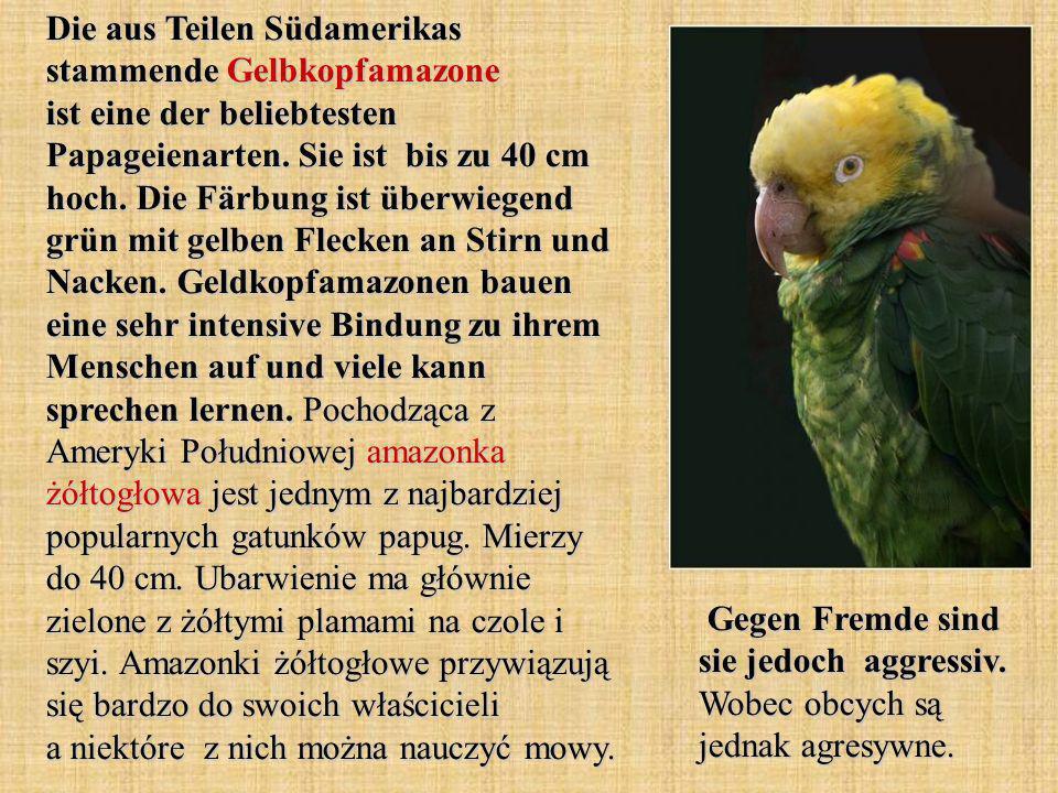 Die aus Teilen Südamerikas stammende Gelbkopfamazone ist eine der beliebtesten Papageienarten.