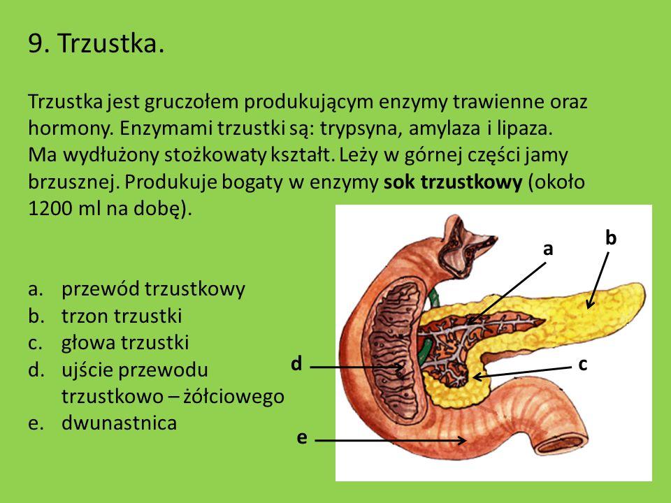 9. Trzustka. Trzustka jest gruczołem produkującym enzymy trawienne oraz hormony. Enzymami trzustki są: trypsyna, amylaza i lipaza. Ma wydłużony stożko