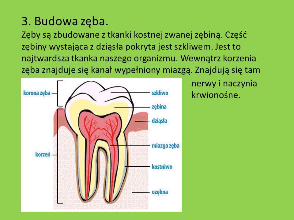 3. Budowa zęba. Zęby są zbudowane z tkanki kostnej zwanej zębiną. Część zębiny wystająca z dziąsła pokryta jest szkliwem. Jest to najtwardsza tkanka n