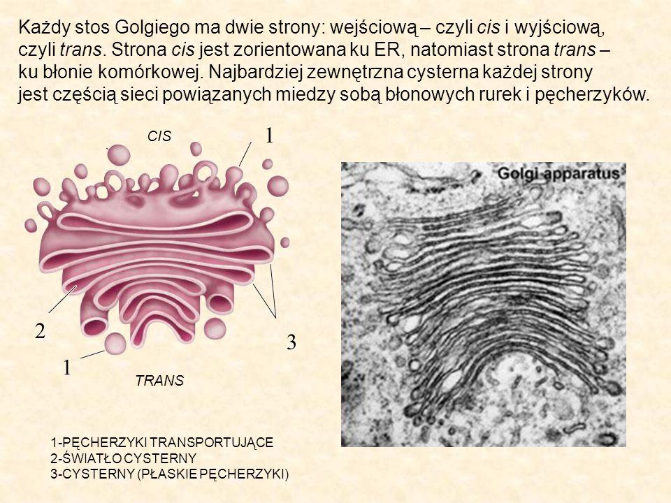 1 1 2 3 1-PĘCHERZYKI TRANSPORTUJĄCE 2-ŚWIATŁO CYSTERNY 3-CYSTERNY (PŁASKIE PĘCHERZYKI) Każdy stos Golgiego ma dwie strony: wejściową – czyli cis i wyjściową, czyli trans.