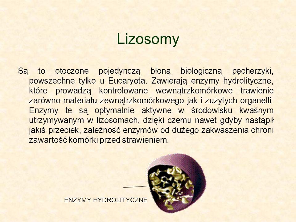 Lizosomy Są to otoczone pojedynczą błoną biologiczną pęcherzyki, powszechne tylko u Eucaryota.