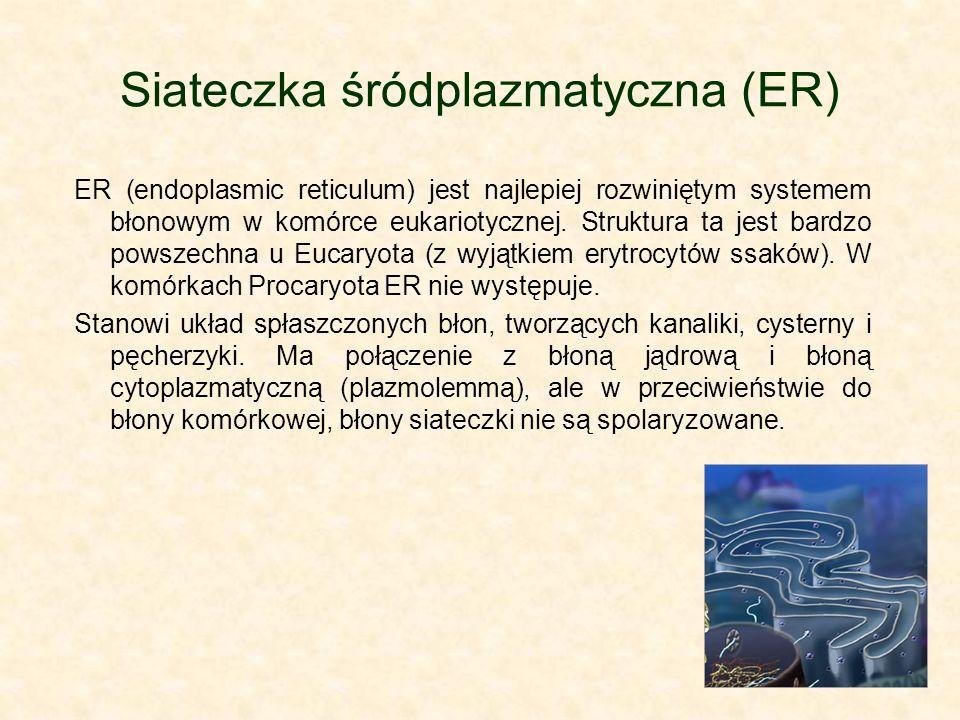 Retikulum endoplazmatyczne - rodzaje Z uwagi na charakter błon ER wyróżnia się: -Siateczkę śródplazmatyczną gładką – retikulum endoplazmatyczne agranularne, w skrócie SER.