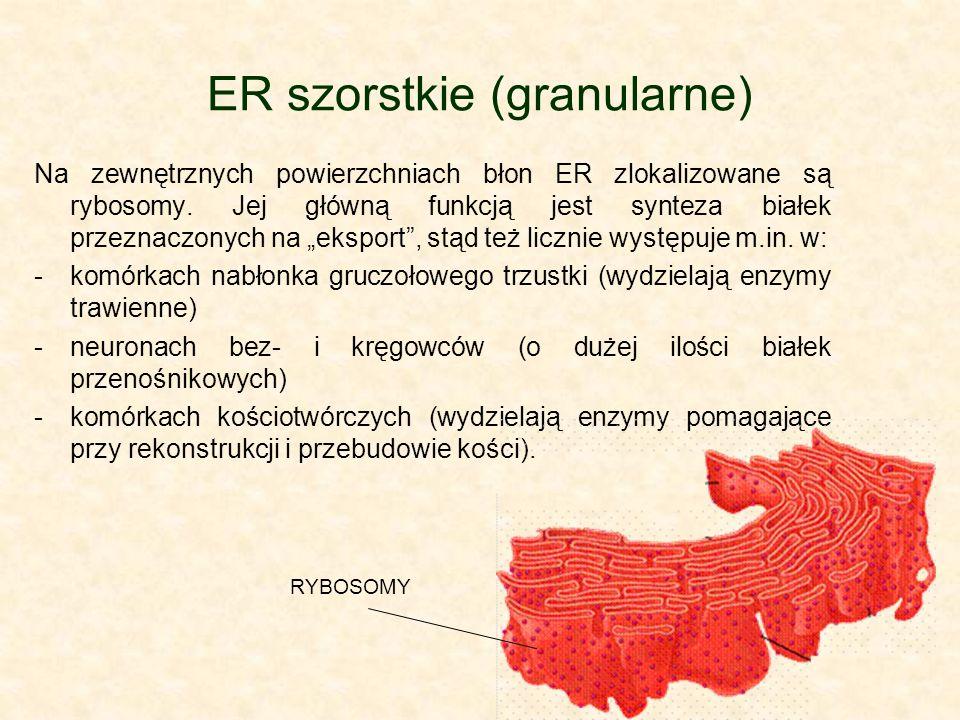 ER szorstkie (granularne) Na zewnętrznych powierzchniach błon ER zlokalizowane są rybosomy.
