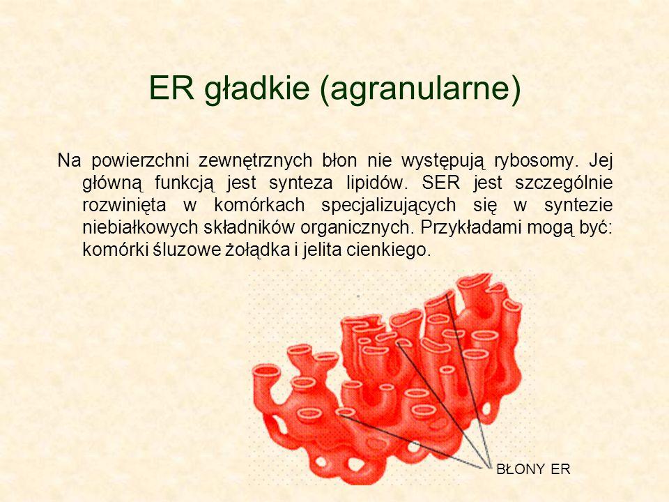 ER gładkie (agranularne) Na powierzchni zewnętrznych błon nie występują rybosomy.