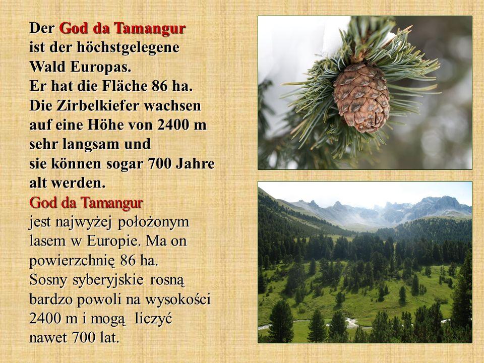 Der God da Tamangur ist der höchstgelegene Wald Europas. Er hat die Fläche 86 ha. Die Zirbelkiefer wachsen auf eine Höhe von 2400 m sehr langsam und s