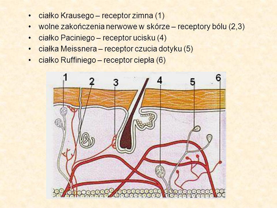 ciałko Krausego – receptor zimna (1) wolne zakończenia nerwowe w skórze – receptory bólu (2,3) ciałko Paciniego – receptor ucisku (4) ciałka Meissnera