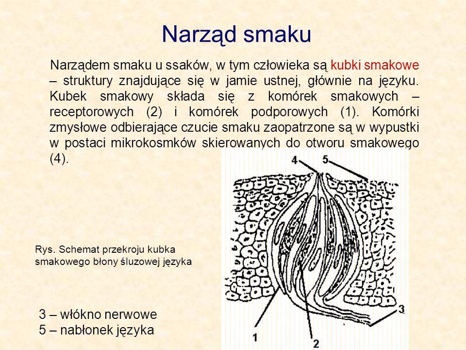 Narząd smaku Narządem smaku u ssaków, w tym człowieka są kubki smakowe – struktury znajdujące się w jamie ustnej, głównie na języku. Kubek smakowy skł