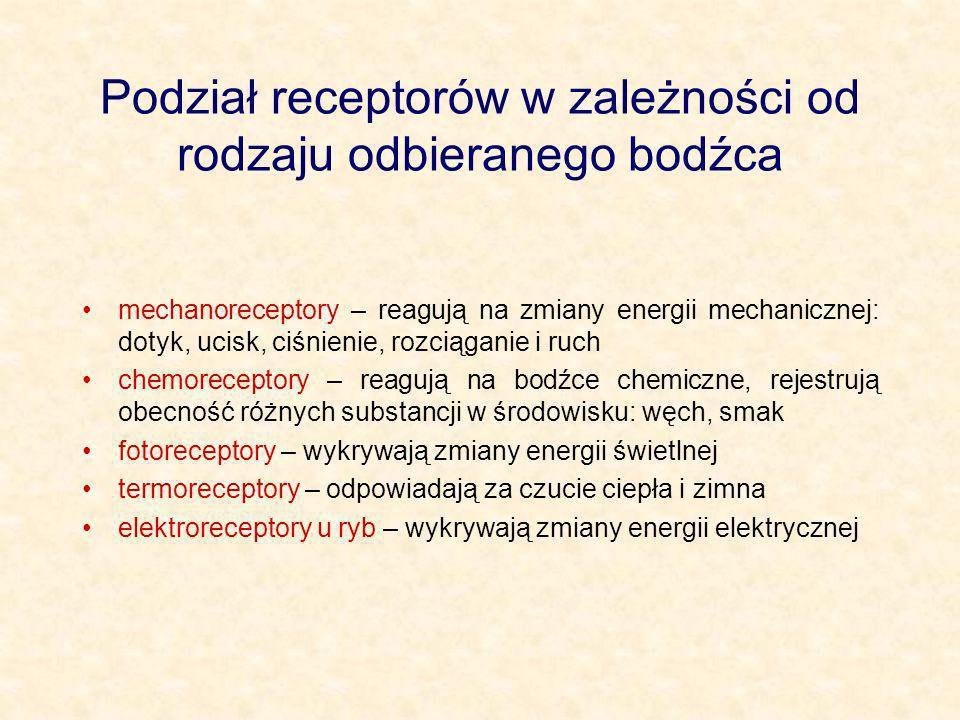 Podział receptorów w zależności od rodzaju odbieranego bodźca mechanoreceptory – reagują na zmiany energii mechanicznej: dotyk, ucisk, ciśnienie, rozc