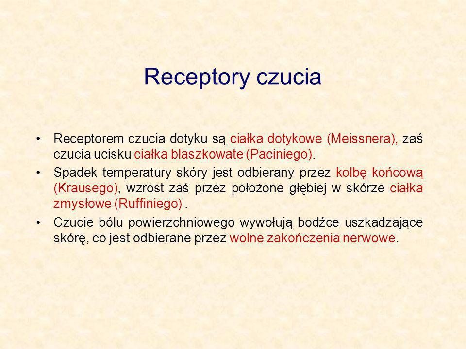 Receptory czucia Receptorem czucia dotyku są ciałka dotykowe (Meissnera), zaś czucia ucisku ciałka blaszkowate (Paciniego). Spadek temperatury skóry j
