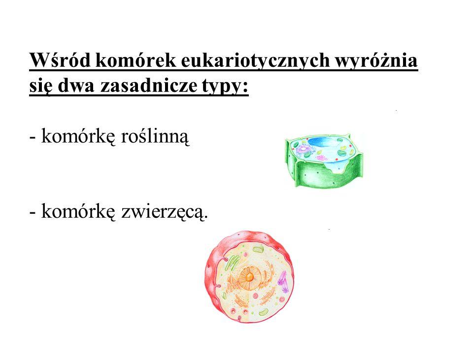 KOMÓRKA ZWIERZĘCA 1 – cytoplazma 2 – siateczka śródplazmatyczna szorstka 3 – rybosomy 4 – chromatyna 5 – jąderko 6 – aparat Golgiego 7 – lizosomy 8 – błona komórkowa 9 – mitochondrium 10 – jądro komórkowe