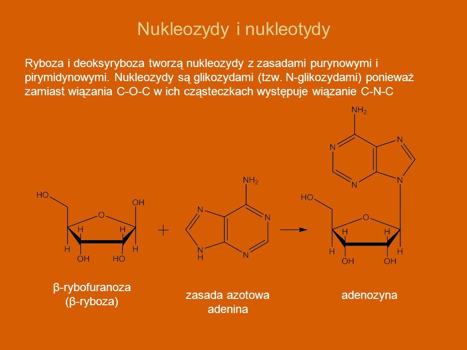 Nukleozydy i nukleotydy Ryboza i deoksyryboza tworzą nukleozydy z zasadami purynowymi i pirymidynowymi. Nukleozydy są glikozydami (tzw. N-glikozydami)