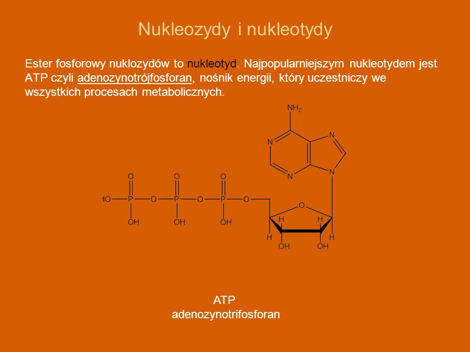 Nukleozydy i nukleotydy Ester fosforowy nuklozydów to nukleotyd. Najpopularniejszym nukleotydem jest ATP czyli adenozynotrójfosforan, nośnik energii,