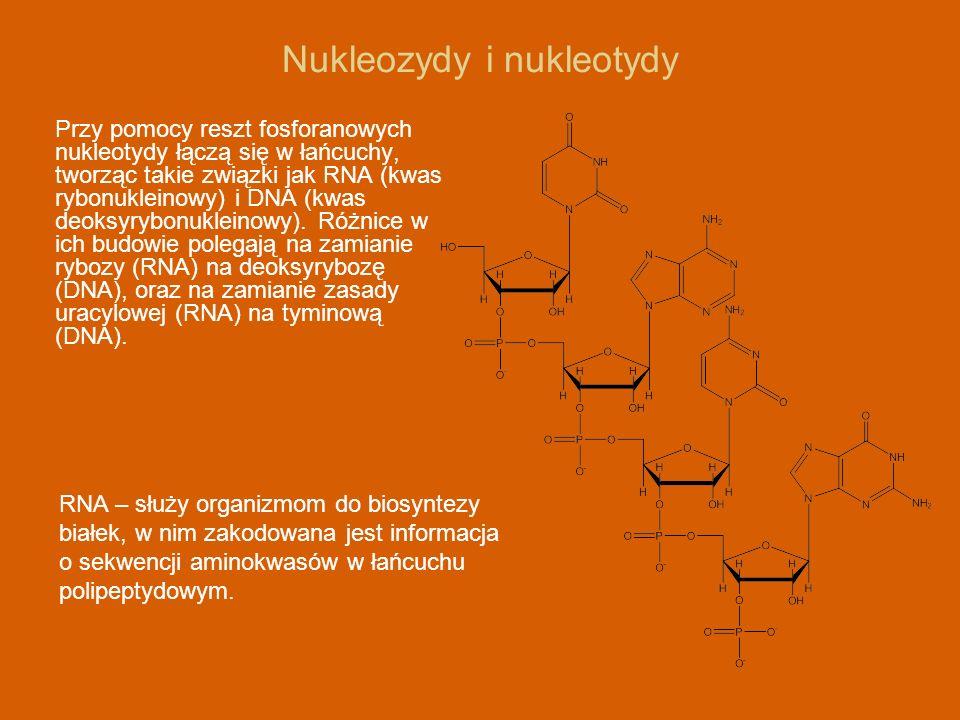 Nukleozydy i nukleotydy Przy pomocy reszt fosforanowych nukleotydy łączą się w łańcuchy, tworząc takie związki jak RNA (kwas rybonukleinowy) i DNA (kw