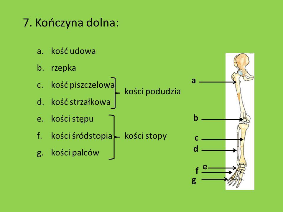 7. Kończyna dolna: a.kość udowa b.rzepka c.kość piszczelowa d.kość strzałkowa e.kości stępu f.kości śródstopia kości stopy g.kości palców a f g d e b