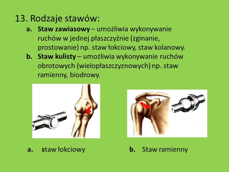 13. Rodzaje stawów: a.Staw zawiasowy – umożliwia wykonywanie ruchów w jednej płaszczyźnie (zginanie, prostowanie) np. staw łokciowy, staw kolanowy. b.