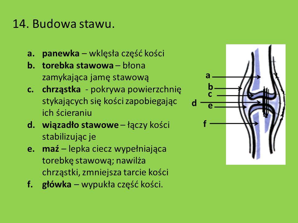 14. Budowa stawu. a.panewka – wklęsła część kości b.torebka stawowa – błona zamykająca jamę stawową c.chrząstka - pokrywa powierzchnię stykających się