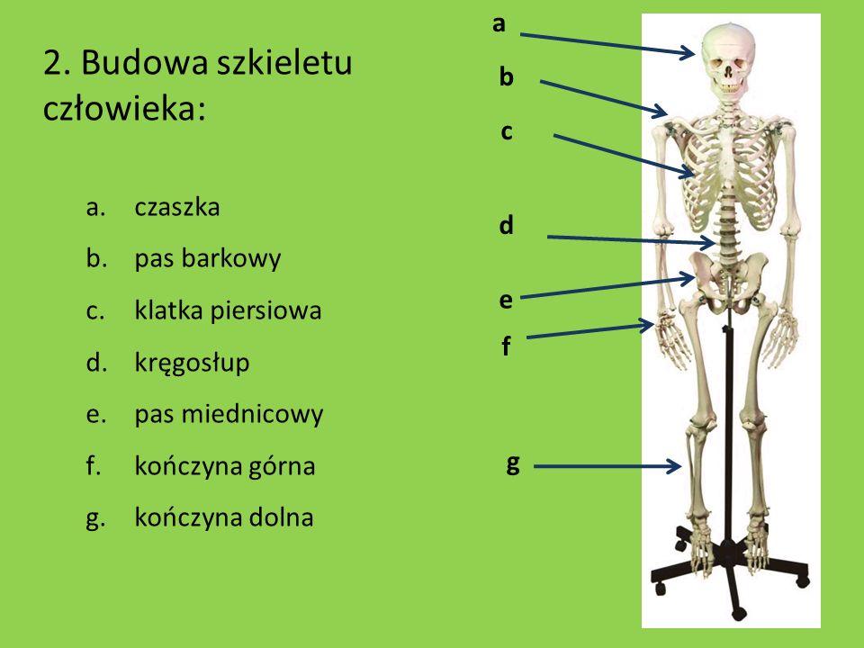 a b d f g c e 2. Budowa szkieletu człowieka: a.czaszka b.pas barkowy c.klatka piersiowa d.kręgosłup e.pas miednicowy f.kończyna górna g.kończyna dolna