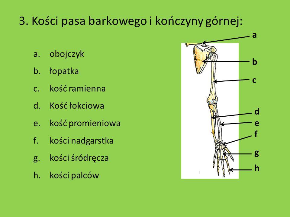 b c h f e d a g 3. Kości pasa barkowego i kończyny górnej: a.obojczyk b.łopatka c.kość ramienna d.Kość łokciowa e.kość promieniowa f.kości nadgarstka