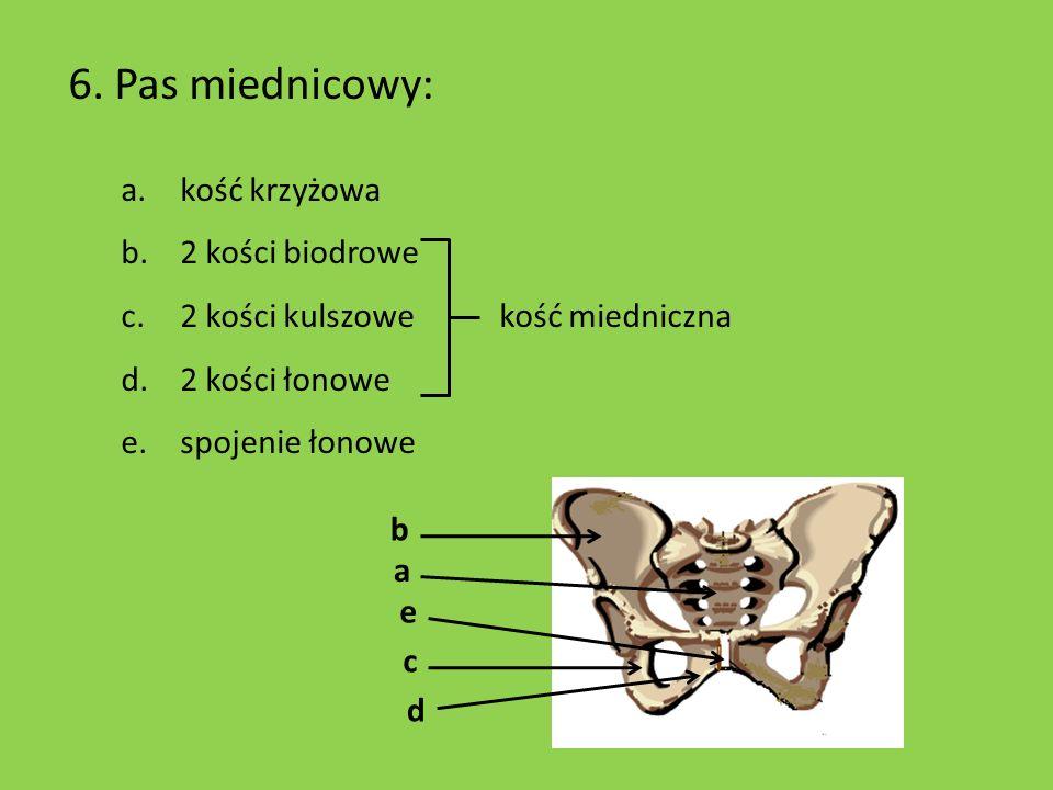 6. Pas miednicowy: a.kość krzyżowa b.2 kości biodrowe c.2 kości kulszowe kość miedniczna d.2 kości łonowe e.spojenie łonowe b c d a e