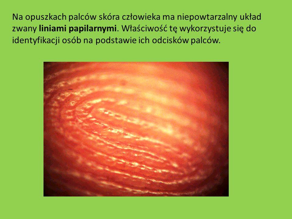 Na opuszkach palców skóra człowieka ma niepowtarzalny układ zwany liniami papilarnymi. Właściwość tę wykorzystuje się do identyfikacji osób na podstaw