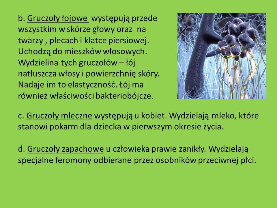 b. Gruczoły łojowe występują przede wszystkim w skórze głowy oraz na twarzy, plecach i klatce piersiowej. Uchodzą do mieszków włosowych. Wydzielina ty