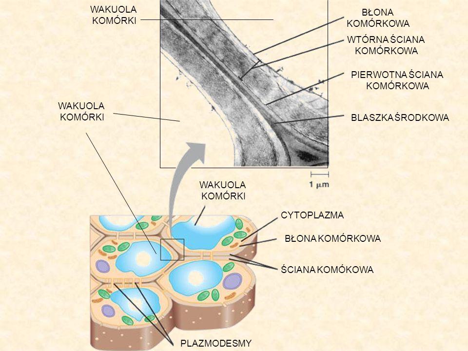 Funkcje ściany komórkowej Nadaje komórce charakterystyczny kształt – jest ona jak gdyby zewnętrznym szkieletem komórki.