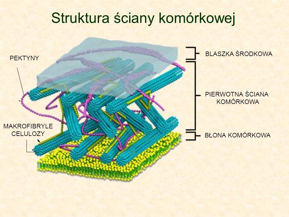 Struktura ściany komórkowej BLASZKA ŚRODKOWA PIERWOTNA ŚCIANA KOMÓRKOWA BŁONA KOMÓRKOWA PEKTYNY MAKROFIBRYLE CELULOZY